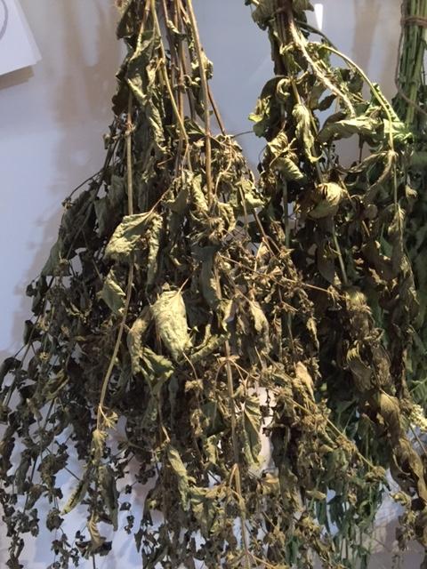 medicinal plants, herbal medicine, drying lemon balm
